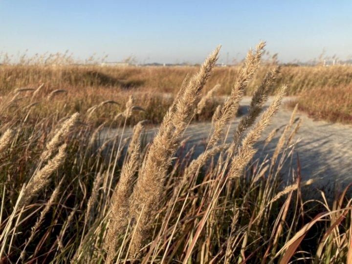 자연이 만든 찬란한 금빛! 갈대,억새밭 보며 산책할 곳 BEST 3