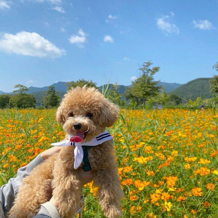 꽃 앞에서 견생샷 찰칵! '가을 코스모스 명소' BEST 4